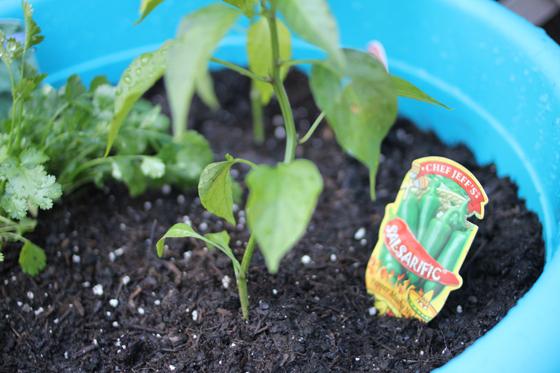 back yard container garden, Burritos & Bubbly