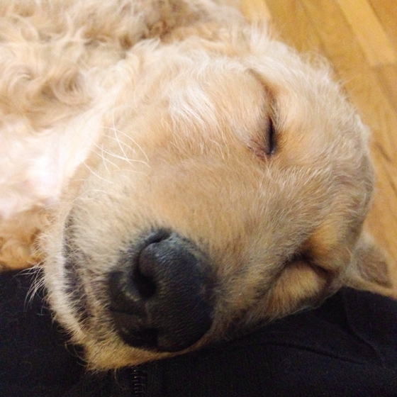 Ruby the goldendoodle puppy #RubeDood
